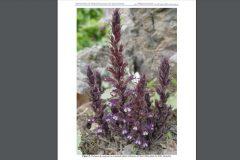 پژوهشگران دانشگاه فردوسی مشهد یک نمونه گیاهی جدید کشف کردند